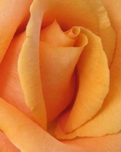 borntodance77:  A rose like this shows the interior of its heart … Incredibly intricate … Vulnerable yet strong …: Rose Flowers, Orange Roses, Flowers Colors, Wedding Colors, Flower Colors, Color Orange