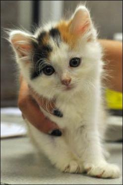 Calico Cat Want this baby, too! Too sweet!: Kitty Cats, Sweet, Cat Baby, Baby Looked, Baby Lizzy, Baby Cats, Calico Cat