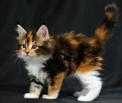 calico kitten: Calico Animals, Cats 3, Calico Kittens, Calico Cats, Cats Galore, Cats And Kittens, Cats Dogs, Cats Kittens, Cats Big