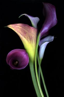 Calla Lilies. pretty sure I want to use this as inspiration for my next charcoal drawing.: Cala Lilies, Favorite Flowers, Callalily, Beautiful Flowers, Calla Lilly, Purple Calla Lilies, Calla Lillies, Calla Lily, Callalillies