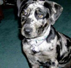 Catahoula Leopard Dog: Catahoula Dogs, Puppy Dogs, Animals Pets, Dogs Catahoula, Animals Dogs, Leopard Dogs, Catahoula Puppy
