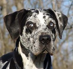 COAHOMA CATAHOULAS***Louisiana Catahoula Leopard Dog: Furbabies, Leopard Dog, Eye