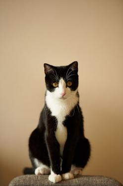 . cute tuxedo cat.   kitty..: Cats Cats, Cats Tuxedo, Kitty Cats, Tuxedo Cats, Feral Cat, Cat Kitty, Ancient Cats, White Cat