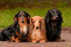 Dacshunds longhairs.  LOVE their beautiful expressions!!!: Pets Dachshunds, Longhairs Dogs, Dachshunds Longhaired, Haired Dachshunds, Dogs Pets, Weiner Dogs, Longhaired Doxies, Dachshunds Longhairs, Mini Dachshunds