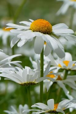 "Daisies..I did a reading for a friend of mine whose daughter tragically had crossed over..she wanted to know if her daughter would be at her youngest daughter's graduation..I got the message of ""daisies""..when my friends youngest daughter grad"