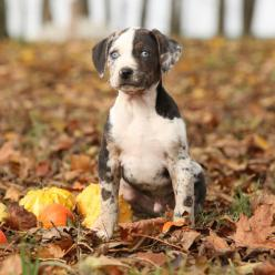 Did you know that the Catahoula Leopard Dog is one of the few breeds that are native to the United States? When settlers arrived in what is now Louisiana, the only domesticated animals they found were the dogs that belonged to Native Americans. When the S
