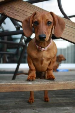 Doing what doxies do best,  watching every move you make: Doxie Love, Weenie Dogs, Cutest Dogs, Dachshund, Doxie S, Weiner Dogs, Wiener Dogs, Animals Pets Doxies