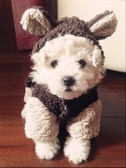 Dress up time.: Halloween Costume, Doggie, Cute Puppies, Westie, Teddy Bears, Pet, Puppy, Cute Dogs, Animal