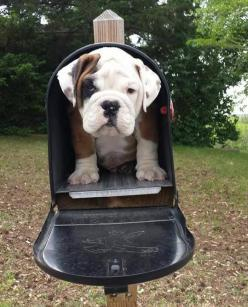 English Bulldog   Please let there be one of these in my mailbox!!!!!: Bulldog S, Bulldogs 3, Bulldog Adorable, English Bulldogs, Bulldog Pleaaaaase, Bulldogs Pets, Questo Bulldog, Animal