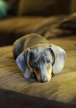 Feeling a little blue?: Weenie Dogs, Doxie S, Doxies, Weiner Dogs, Wiener Dogs, Dachshund S, Animal