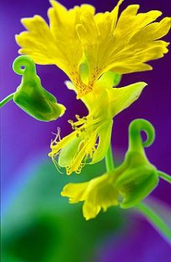 Flowers...Flowers...Flowers... Canary Flower: Yellow Flowers, Canary Flower, Flowers Canary, Beautiful Flowers, Garden Flowers, Flowers Flores, Gardening Flowers Yellow, Flowers Garden