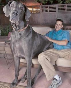 Found a guard dog for Mary English!!!  Meet George! He weighs over 245lbs. Guinness World Record Holder for Tallest Living Dog & Tallest Dog Ever.: Tallest Dog, 245 Pound, 245Lb, 43 Inch, 245 Lb, Biggest Dog