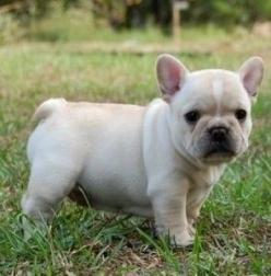 French Bulldog. OK, that's what the original pinner (acknowledged below) claims but I'm not sure if it's a French Bulldog, little piggy, or maybe even a cross between the two :-): French Bull Dog, Cute Animal, Baby French Bulldog, French Bulld