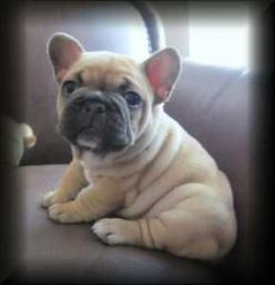 French Bulldog Puppy. I don't like bulldogs to me they are kinda ugly but I can do a French bulldog, my mom wants a bulldog bad so let's see if we can get a French one.: Doggie, French Bulldogs, Pet, Wrinkly Dog, Frenchie, French Bulldog Puppies,