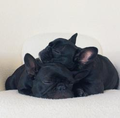Frenchies pups: Bulldog Puppies, Frenchies Pups, Black French Bulldogs, Sleeping Frenchie, French Bulldoggies, Black Frenchie, Bulldogs Napping