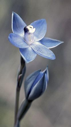 Glistening Sun-Orchid: Thelymitra lucida - by Macro Orchids Tasmania, via Flickr: Beautiful Flower, Glistening Sun, Orchid Thelymitra, Blue Flower