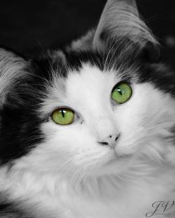 Green-Eyed Cat Portrait: Black and White Color Splash, posted by DesignByJV via etsy.com: Kitty Cats, Beautiful Green Eyes, Pet Photography, Beautiful Cats, Cat Eyes, Black And White Color Splash, Cats Black, Cats Kittens