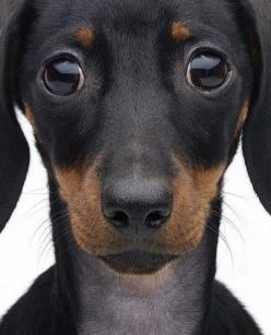 How could you not love this sweet creature? Dachshunds have my heart.: Doggie, Big Eyes, Dachshund, Puppy Dog Eyes, Weiner Dogs, Friend, Adorable Animal, Puppy Eyes