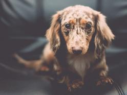 How to Effectively Combine Aperture and Shutter Speed | Photography Tips | Photo: Canine Cognition by jDevaun, via Flickr: Little Puppies, Combine Aperture, Dachshund Puppies, Beautiful Dachshund, Dapple Dachshund, Box, Weiner Dogs, Cute Dogs