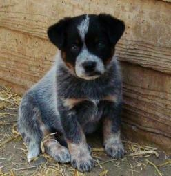 http://drmark1961.hubpages.com/hub/five-dog-breeds-from-australia: Australian Cattle Dogs, Blue Healer, Blue Heelers, Heeler Puppy, Australiancattledogs, Blueheelers, Dog Breeds