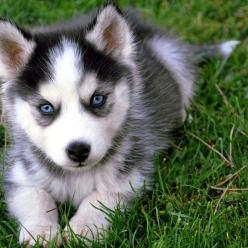 Huskie! I want one so bad!: Blueeyes, Adorable Animals, Siberian Husky, Pet, Siberian Huskies, Blue Eyes, Huskies Puppies, Husky Puppies