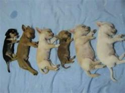 I'll take all of them...this is way too cute!!: Detailed Cost, Baby Chihuahuas, Chihuahua Fur, Animals Chihuahuas, Chihuahua Adorable, Sweet Chihuahuas, Chichihuahua Puppies, Chihuahua S, Sleeping Chihuahua