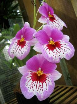 I guess I have made my point clear.  There is an amazing variety when it comes to orchids.  What a creative Creator we have.: Orchids Flowers, Orchids Orquídeas, Miltonia Orchids, Beautiful Flowers, Flowers Orchids, Beautiful Orchids, Orchids Beautiful, F