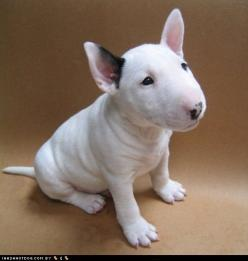 I love him!! Bull Terrier! Gimme!!: Bull Terrier Puppy, English Bull Terriers, Pet, Bullterriers, Bull Terrior, Target Dog, Baby Bull, Adorable Animal