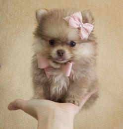 i love my Fluff to pieces but maybe it's time for another puppy. I wonder how she'd react...: Pomeranian S, Teacup Pomeranian Puppy, Dogs And Puppies, Pink Bows, Puppys, Pom Pom, Doggieinstyle Handfulofpuppies, Puppy S, Animal