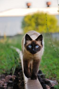 I love this cat. we use to have a siamese cat with blue eyes. i loved that cat so much!: Siamese Cats, Kitty Cat, Beautiful Cats, Pretty Cat, Kitty Kitty, Blue Eyes, Cat S, Cats Kittens
