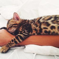 I realize there are a zillion things to be done but I am just going to take this quick catnap and then I'll get on it.: Bengal Cats, Kitty Cats, Bengal Kittens, Kitty S, Cat S, Cats Kittens, Furry Friends