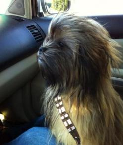 I really want a dog that I can do this with.. bahahaha... so cute: Halloween Costume, Chewbaccadog, Pet, Chewbacca Dog, Star Wars, Wookie Dog, Funnie, Starwars