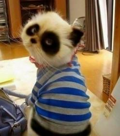 i want a panda kitty <3: Kitty Cat, Panda Kitten, Panda Kitty, Pandacat, Funny Animal, Adorable Animal, Panda Cat