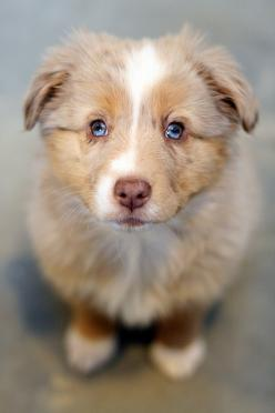 I will name her Myrtle!! One day, one day I will have a Mini-Australian Shepard named Myrtle.: Australian Shepherd Puppies, Merle Aussie, Mini Aussie, Aussie Puppies, Beautiful Dogs, Puppy Eyes