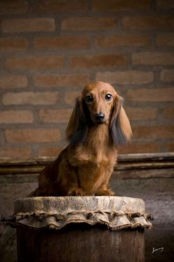 I wonder if this is what Mr. Barnabus Stinson would look like if I took a straightener to his hair ...: Doggie, Long Haired Dachshund, Beautiful Dachshund, Beautiful Doxie, Haired Doxie, Doxie S, Wiener Dogs, Beautiful Dogs