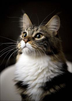 If only long haired cats didn't shed so much. Pretty.: Beautiful Cat, Kitty Cat, Crazy Cat, Kitty Kitty, So True, Cat S, Cat Lady, Eye