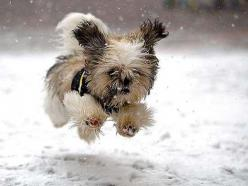 Image detail for -Kingsbrook Animal Hospital's Blog: Dogs don't wear snow boots: Doggie, Cute Animals, Shihtzu, Shih Tzu, Funny Animal, Cute Dogs, Furry Friends