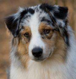 Is it odd that I've wanted a herd of herding dogs for longer than I can remember? Blue merle aussies on the brain today.: Aussie S, Herding Dogs, Remember Blue, Loving Dogs, Animals Cute Pets, Blue Merle, Nice Dogs, Beautiful Dogs, Merle Aussies