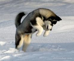 Isn't this the cutest capture of a husky at play in the snow?: Doggie, Siberian Husky Puppies, Siberian Huskies, Husky Dogs, Huskies Puppies