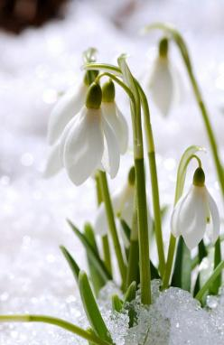 Kathrine, I planted these years ago. One plant survived and it comes up early spring! Watch for it along the side of the driveway.: Language Of Flowers, White Flower, Spring Flowers, Snowdrops Flower, Winter Wonderland, Winter Garden, Snowdrops Perfect, E