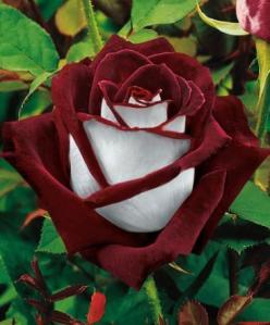 Large-Flowered Rose 'Osiria' | Roses from Spalding Bulb.  Tihs would be so beautiful in our garden!: Beautiful Flower, White Rose, Osiria Rose, Tea Rose, Flowers Rose, Flowers Garden, Pretty Flower, Beautiful Rose, Favorite Flower