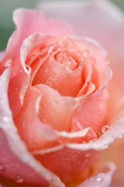 Learn How to stop Hair Loss, Easy Methods to prevent Hair Loss, reasons of Hair Loss and What to do about it in daily life.http://stopinghairloss.blogspot.in: Pink Flower, Pink Roses, Beautiful Roses, Beautiful Flowers, Garden Rose, Rose Garden, Flowers G