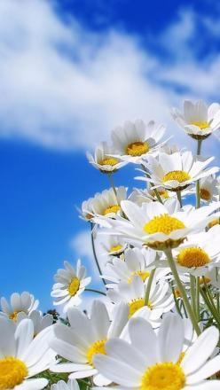 """""""Let us be grateful to the people who make us happy; they are the charming gardeners who make our souls blossom.""""  ― Marcel Proust: Daisies Flower, Blue Sky, Daisy Daisy, Blue Skies, Summer Flower, Daisy S, Friendliest Flowers, Favorite Flower"""