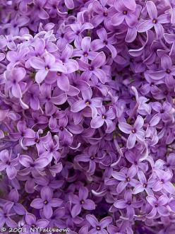 Lilacs .. Since we remodeled my great grandmothers house, I have inherited her beautiful , huge lilac bush! It's in the front yard so you can smell the flowers from the porch:) my favorite flower!: Lilacs Remind, Kitchen Window, Purple Lilac, Lilac Bu
