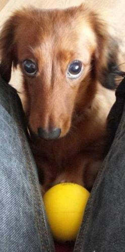 Look at those manipulative little puppy dog eyes: Fabulous Doxie, Doxie Eyes, Big Eyes, Puppy Dog Eyes, Doxie Dogs, Doxie S, Dachsund Doxie, Wiener Dogs
