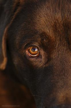 Love these labbie eyes!! So so soulful!!: Eyes Labrador, Labrador Retriever, Color Brown, Soulful Eye, Chocolate Labs, Brown Eye, Chocolate Brown, Brown Labrador, Chocolate Labrador