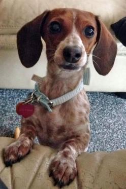 Lucy Mae the Dachshund Pictures 1016881: Dachshund Adorable, Sweet Dachshunds, Doggies Animals, Animal Dachshunds, Beautiful Color, Dachshund Pictures, Speckled Dachshund, Dachshund S