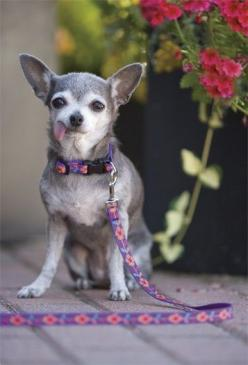 Lupine Small Dog Collars and leashes: Pets Flossie, Dog Collars, Small Dogs, The Pets, Pet Wear, Chihuahua, Lupine Small