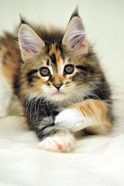 Maine Coon Kitten, kitty, kitten, killing, fluffy, furry, pet, cute, nuttet, adorable, photograph, photo: Maine Coons, Kitty Cat, Maine Coon Kittens, Kitty Kitty, Maine Coon Cat, Coon Cats, Cats Kittens, Mainecoon, Calico Cat