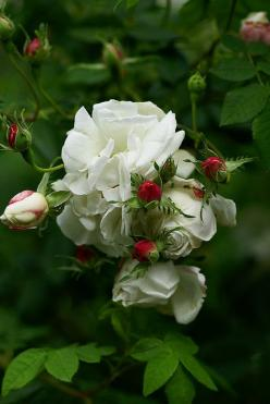 Mme Plantier, Rosa alba-hybrid-I have this plant in my garden and it is amazing-1 bush produced over 1000 blooms-the downside is it only blooms once a year. Very Hardy!: Beautiful Flower, White Roses, Flowers Plants, Garden Rose, Red Buds, Flowers Garden